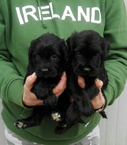 cuccioli di schnauzer medi neri